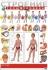 Литература для педагогов ДОУ «Строение тела человека  (плакат)»